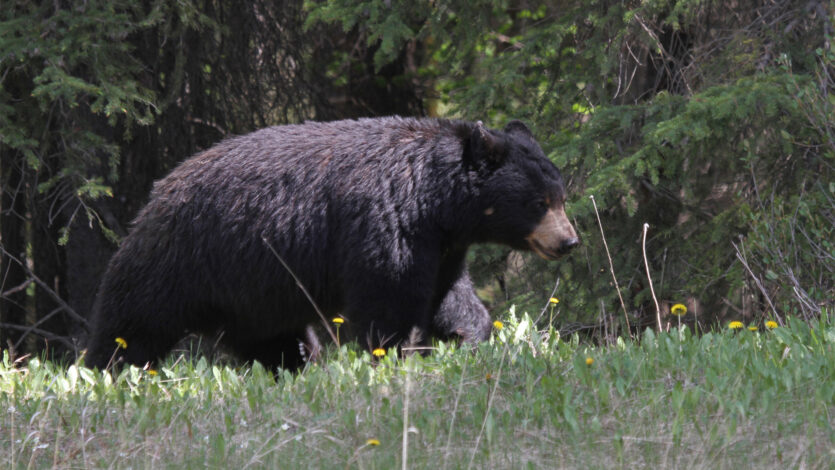 Top 5 Reasons to Hunt Black Bear in SK - Featured Image