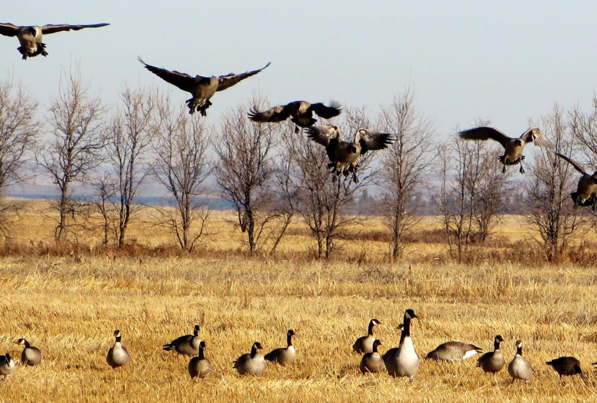 Top 5 Reasons to Hunt Waterfowl in SK - Featured Image