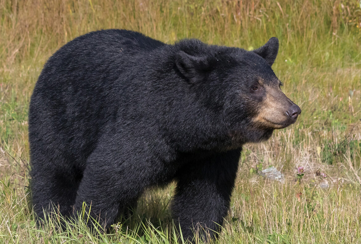 Advice for the First Time Black Bear Hunter in Saskatchewan - Featured Image
