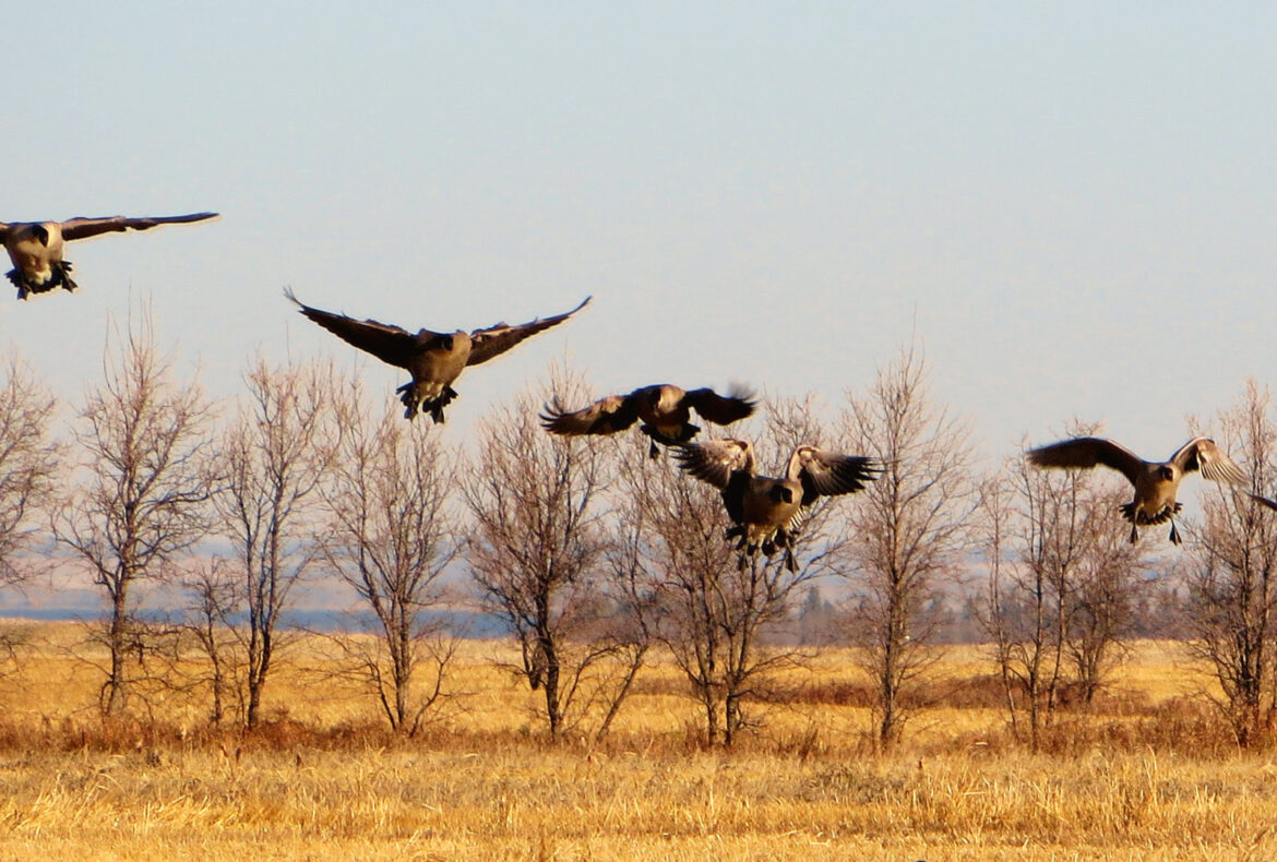 Advice for the First Time Waterfowl Hunter in Saskatchewan - Featured Image